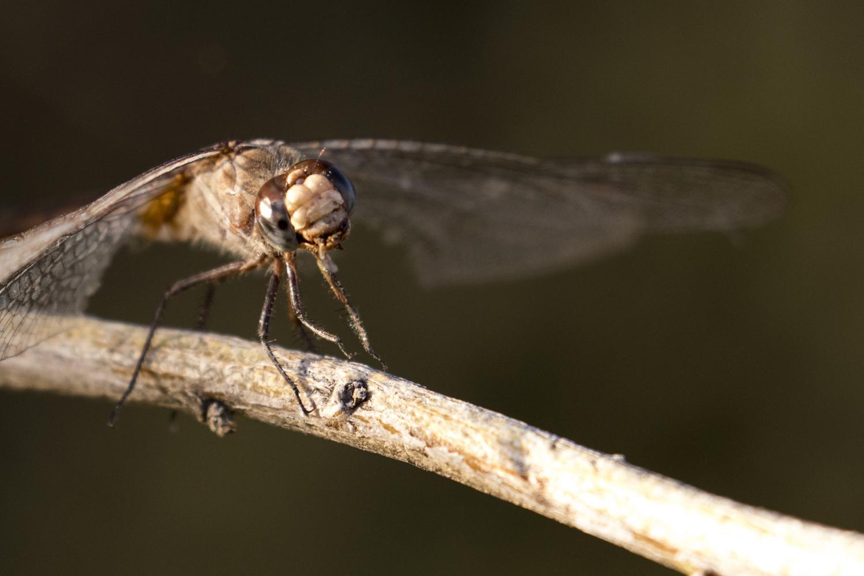 "<a href=""/taxonomy/term/72"" typeof=""skos:Concept"" property=""rdfs:label skos:prefLabel"" datatype="""">Arizona</a>, <a href=""/taxonomy/term/74"" typeof=""skos:Concept"" property=""rdfs:label skos:prefLabel"" datatype="""">Dragonflies</a>, <a href=""/taxonomy/term/78"" typeof=""skos:Concept"" property=""rdfs:label skos:prefLabel"" datatype="""">Gilbert Riparian Preserve</a>, <a href=""/taxonomy/term/71"" typeof=""skos:Concept"" property=""rdfs:label skos:prefLabel"" datatype="""">Insects</a>, <a href=""/taxonomy/term/68"" typeof=""skos:Concept"" property=""rdfs:label skos:prefLabel"" datatype="""">Macro</a>"